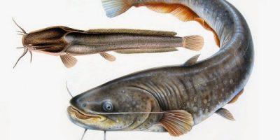 Cara Membuat Pelet Apung Untuk Ikan Lele